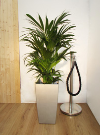 A2 Kentia Palm
