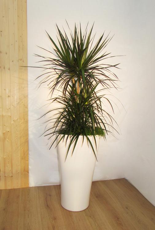 A4 Dracena Marginata Classic Plants