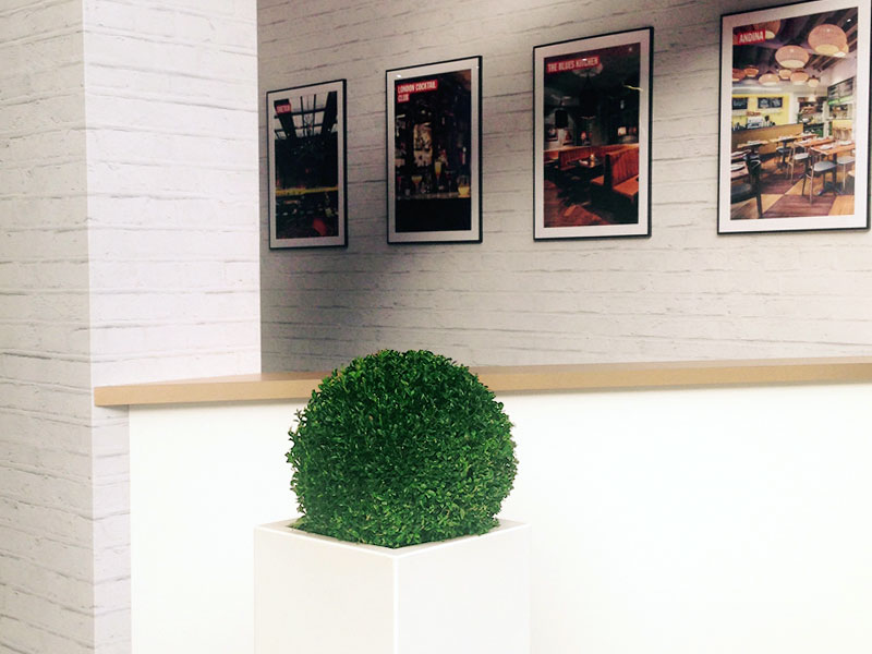 Excellent corner display of Buxus in tall container