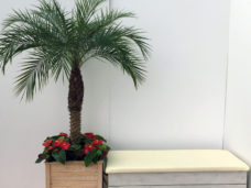 Phoenix Palm available in different heights up to 3m + plus Limewashed Bench Seating