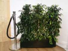 Ficus Trough