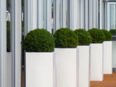 Row of Buxus in tall white containers