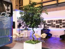 3m Ficus Tree
