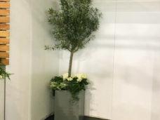 2m Olive Tree