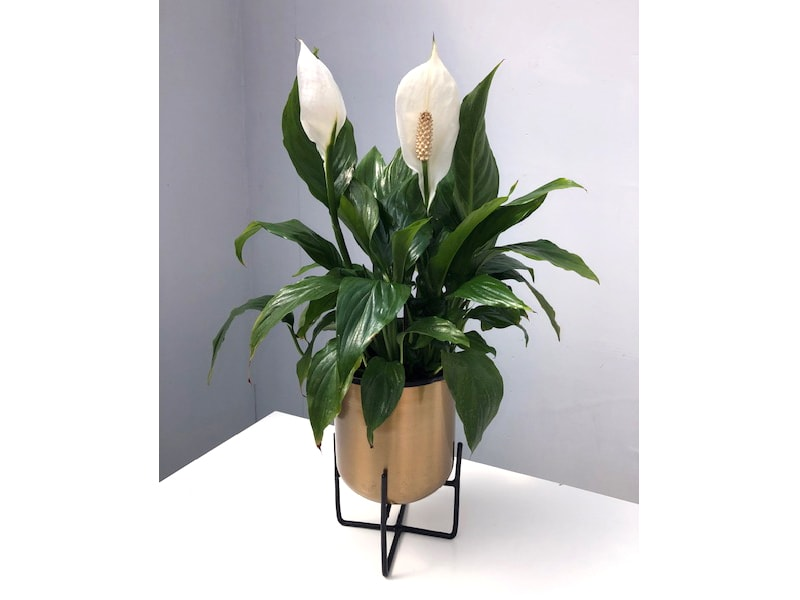 Peace Lilly in decorative pot