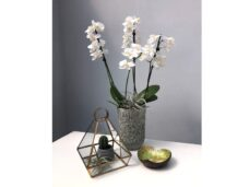 Single Orchid in ceramic pot