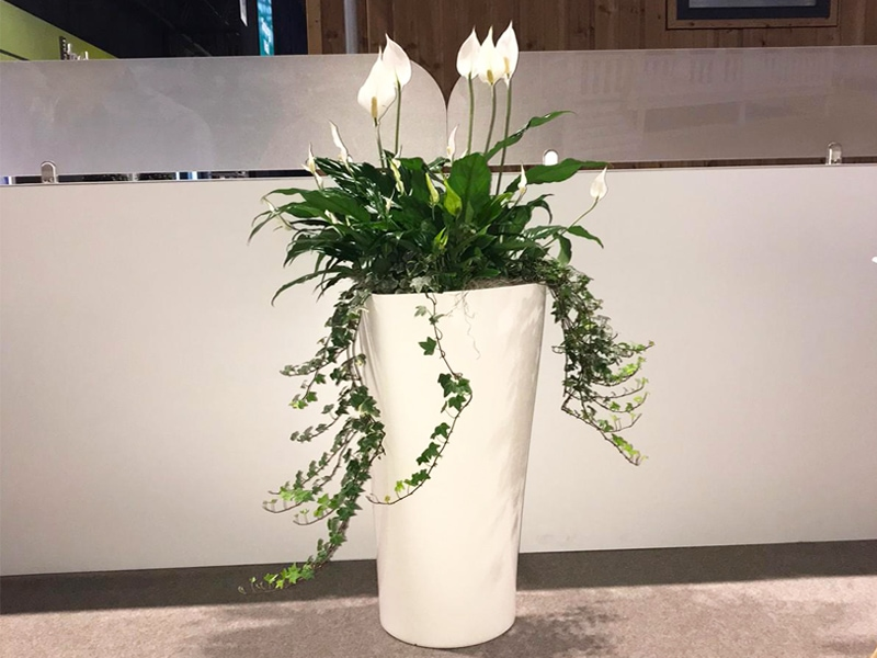 Spathiphyllum Display [Peace Lily]