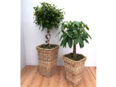 Natural Wicker Baskets with a choice of Trees